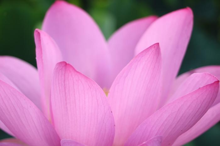 朝一番に 古代蓮の花を見に行く_d0150720_12345960.jpg