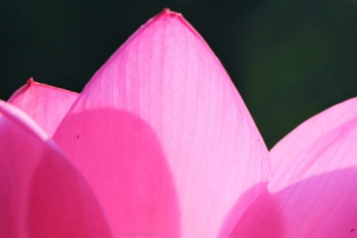 朝一番に 古代蓮の花を見に行く_d0150720_12351388.jpg