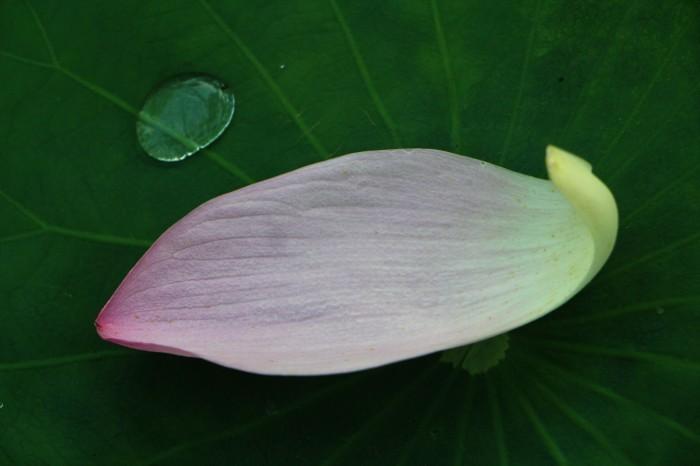 朝一番に 古代蓮の花を見に行く_d0150720_12364877.jpg