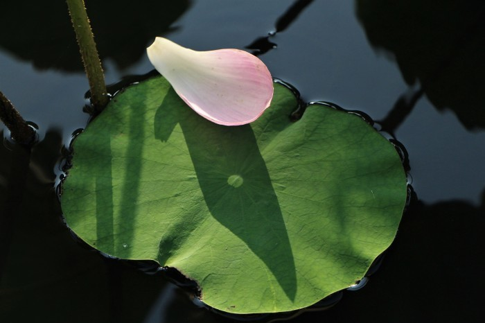 朝一番に 古代蓮の花を見に行く_d0150720_12372357.jpg