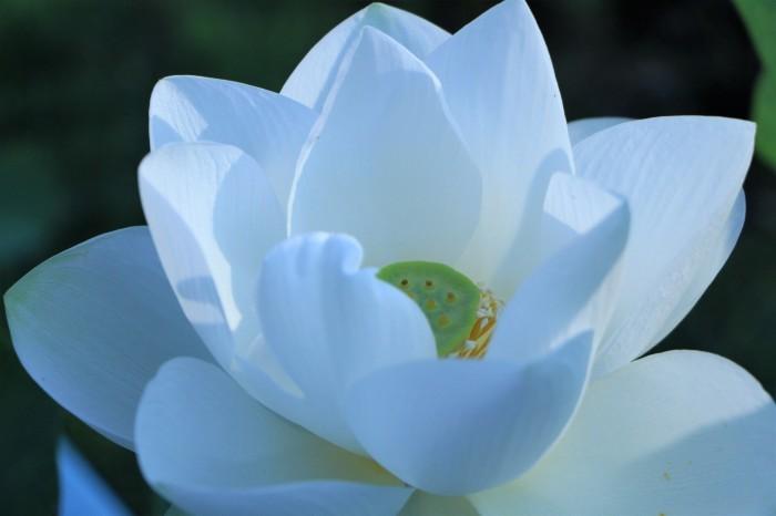 朝一番に 古代蓮の花を見に行く_d0150720_13355136.jpg