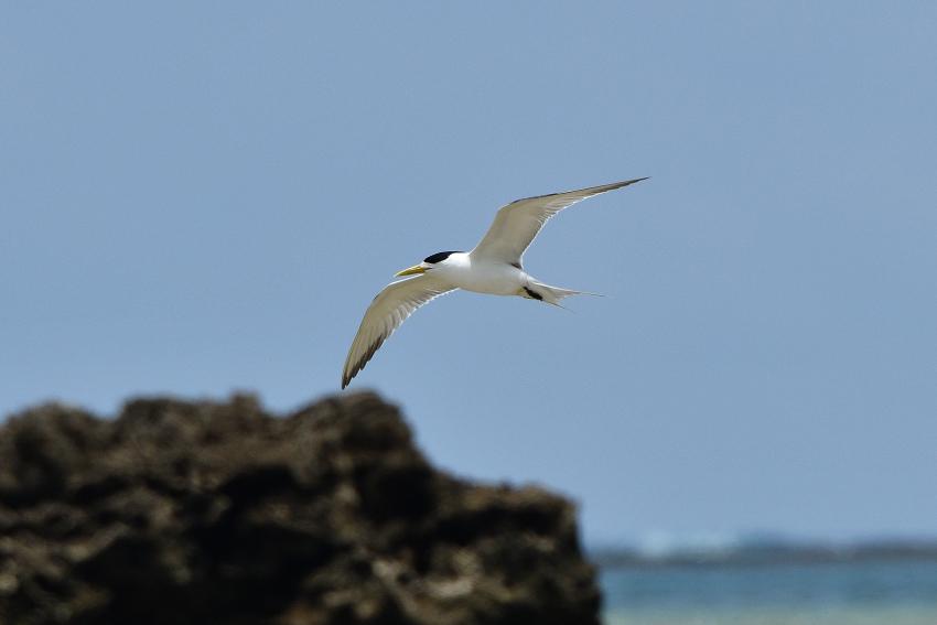 オオアジサシ(Greater crested tern)/2018.06_b0148352_11530101.jpg
