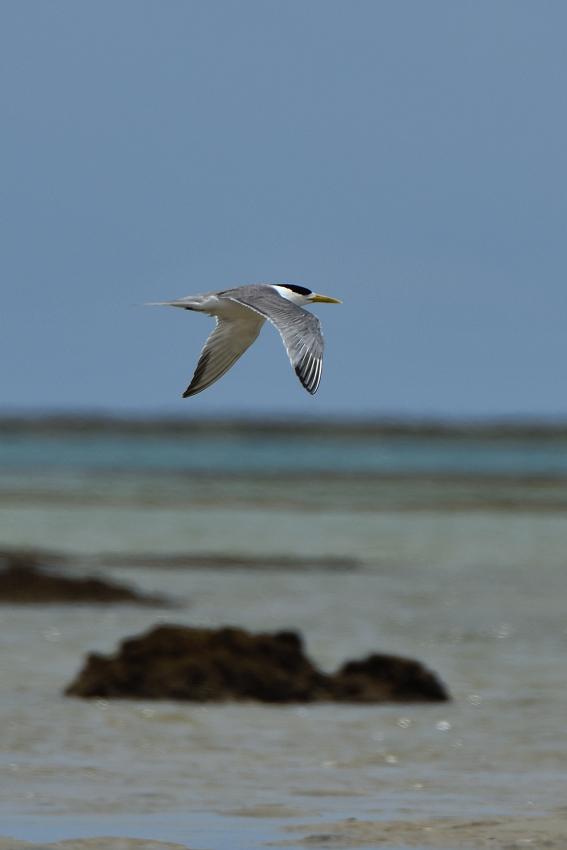 オオアジサシ(Greater crested tern)/2018.06_b0148352_11530794.jpg