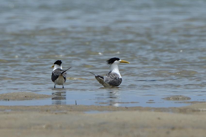 オオアジサシ(Greater crested tern)/2018.06_b0148352_11531928.jpg