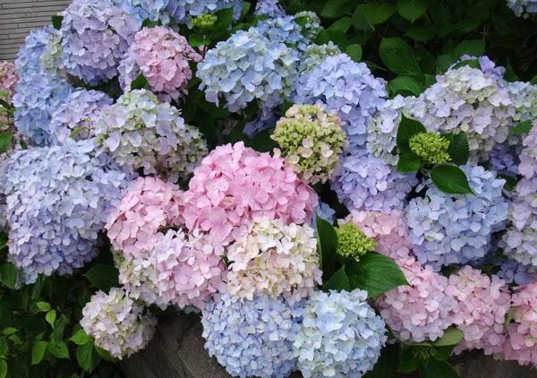 今年の紫陽花♪ 裏のガクアジサイに西洋アジサイ、いろいろ色々♪_a0136293_15024774.jpg