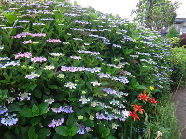 今年の紫陽花♪ 裏のガクアジサイに西洋アジサイ、いろいろ色々♪_a0136293_15170929.jpg