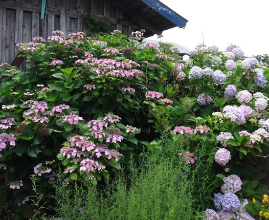 今年の紫陽花♪ 裏のガクアジサイに西洋アジサイ、いろいろ色々♪_a0136293_15182803.jpg