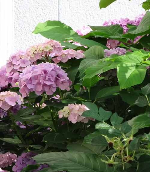 今年の紫陽花♪ 裏のガクアジサイに西洋アジサイ、いろいろ色々♪_a0136293_15223801.jpg