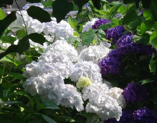 今年の紫陽花♪ 裏のガクアジサイに西洋アジサイ、いろいろ色々♪_a0136293_15234533.jpg