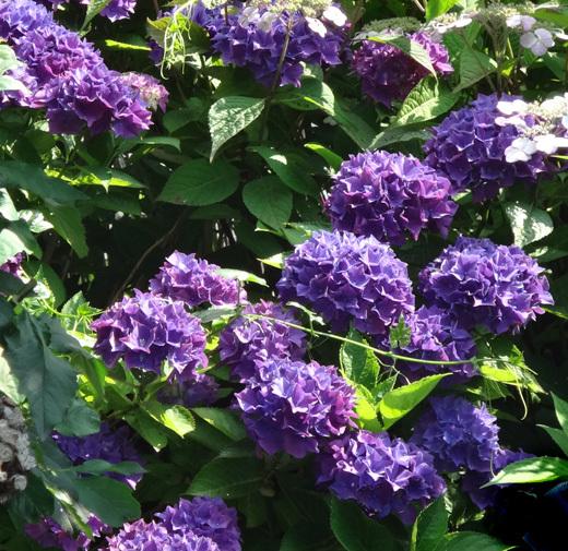 今年の紫陽花♪ 裏のガクアジサイに西洋アジサイ、いろいろ色々♪_a0136293_15235402.jpg