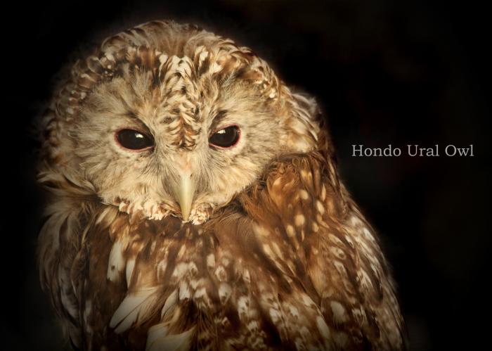 ホンドフクロウ: Hondo Ural Owl_b0249597_06564580.jpg