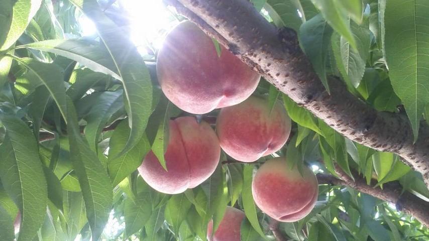 ももの収穫は 朝がBEST_f0325525_00255415.jpg