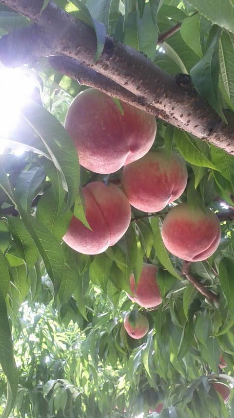 ももの収穫は 朝がBEST_f0325525_00261319.jpg