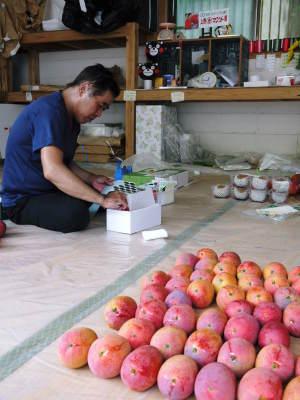 樹上完熟アップルマンゴー やっと完熟しネットに落ち始めました!7月18日(金)~順次出荷していきます!!_a0254656_19373636.jpg