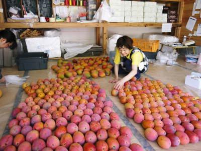 樹上完熟アップルマンゴー やっと完熟しネットに落ち始めました!7月18日(金)~順次出荷していきます!!_a0254656_19382201.jpg
