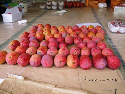樹上完熟アップルマンゴー やっと完熟しネットに落ち始めました!7月18日(金)~順次出荷していきます!!_a0254656_19441781.jpg