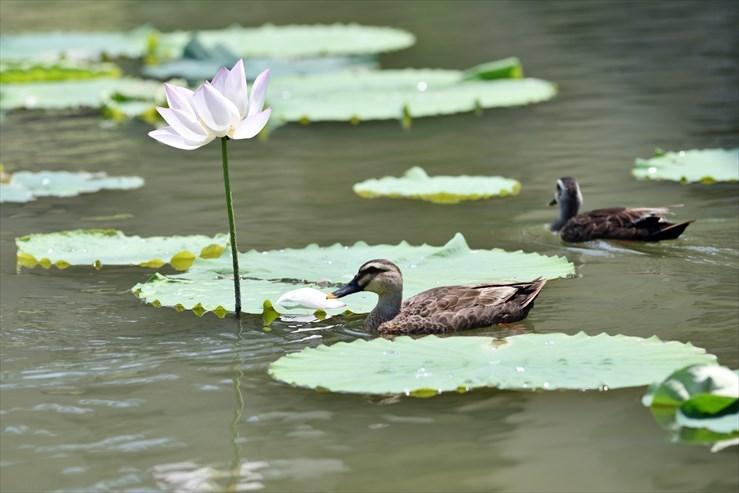 愛知健康の森公園のハス_e0170058_18022244.jpg