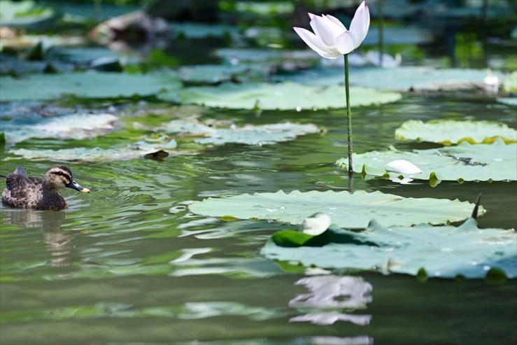 愛知健康の森公園のハス_e0170058_18022350.jpg