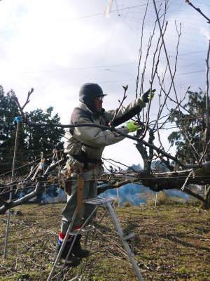 熊本梨 岩永農園 まもなく収穫スタート!今年もこだわりの無袋栽培&樹上完熟にこだわり出荷します!_a0254656_17394924.jpg
