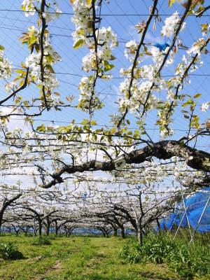 熊本梨 岩永農園 まもなく収穫スタート!今年もこだわりの無袋栽培&樹上完熟にこだわり出荷します!_a0254656_17454906.jpg