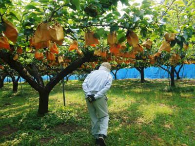 熊本梨 岩永農園 まもなく収穫スタート!今年もこだわりの無袋栽培&樹上完熟にこだわり出荷します!_a0254656_17502867.jpg