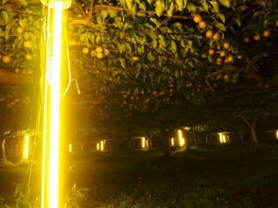 熊本梨 岩永農園 まもなく収穫スタート!今年もこだわりの無袋栽培&樹上完熟にこだわり出荷します!_a0254656_18103268.jpg