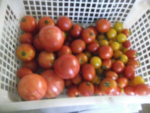 夏野菜は..次々と終了_b0137932_20495063.jpg
