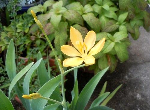 2年がかり、やっと咲いた万葉の花_b0102572_18365074.jpg