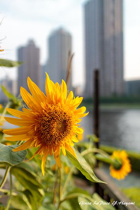 花のある風景 風のある日のヒメヒマワリ_b0133053_00300648.jpg