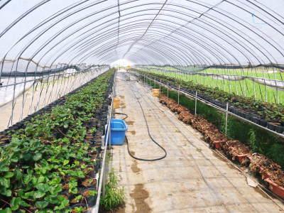 完熟紅ほっぺ イチゴは多年生植物!減農薬栽培の苗床の様子と栽培ハウスの片付け_a0254656_16262628.jpg