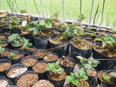 完熟紅ほっぺ イチゴは多年生植物!減農薬栽培の苗床の様子と栽培ハウスの片付け_a0254656_16274129.jpg