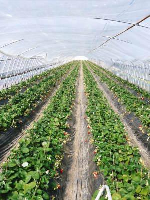 完熟紅ほっぺ イチゴは多年生植物!減農薬栽培の苗床の様子と栽培ハウスの片付け_a0254656_16382722.jpg