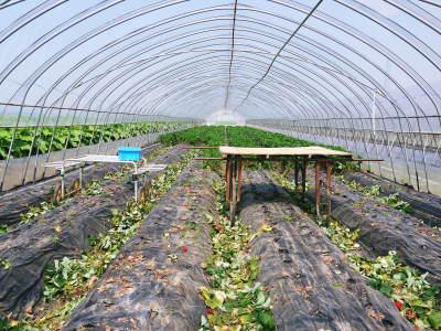 完熟紅ほっぺ イチゴは多年生植物!減農薬栽培の苗床の様子と栽培ハウスの片付け_a0254656_16400398.jpg
