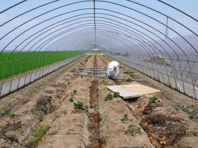 完熟紅ほっぺ イチゴは多年生植物!減農薬栽培の苗床の様子と栽培ハウスの片付け_a0254656_16442109.jpg
