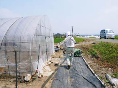 完熟紅ほっぺ イチゴは多年生植物!減農薬栽培の苗床の様子と栽培ハウスの片付け_a0254656_16470039.jpg