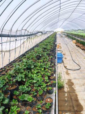 完熟紅ほっぺ イチゴは多年生植物!減農薬栽培の苗床の様子と栽培ハウスの片付け_a0254656_17055116.jpg