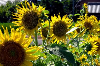 猛烈な暑さに日の用心_b0145296_16220246.jpg