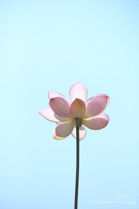 蓮の花 **_e0347431_17081107.jpg