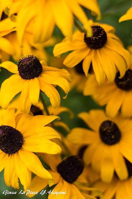 花のある風景 ルドベキアの黄色_b0133053_23350515.jpg