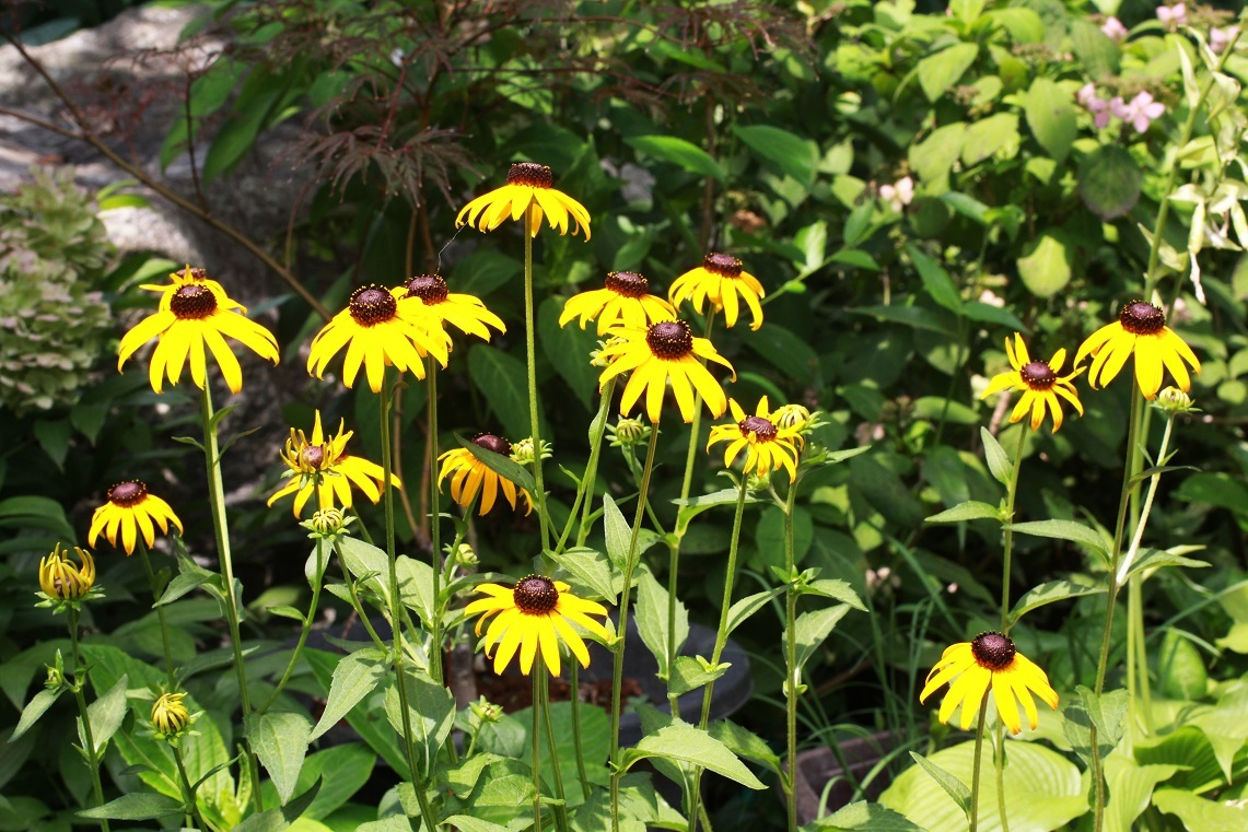 夏の宿根草を計画的に ~ルドベキア、ギボウシ~_a0107574_15070686.jpg