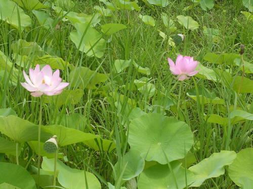 すずしげに、ハスの花。_e0295926_20582446.jpg