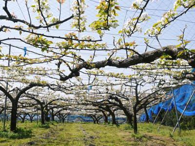 熊本梨 こだわりの樹上完熟梨『幸水』 先行予約の受付をスタート!初回出荷は7月31日(火)です!_a0254656_17103980.jpg