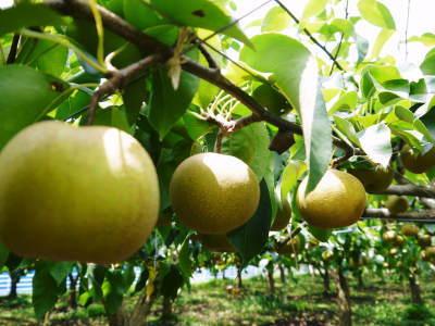 熊本梨 こだわりの樹上完熟梨『幸水』 先行予約の受付をスタート!初回出荷は7月31日(火)です!_a0254656_17511614.jpg