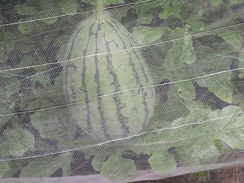 ビックなカボチャ初収穫、ピーマンとゴーヤ鈴生り7・23_c0014967_17545759.jpg