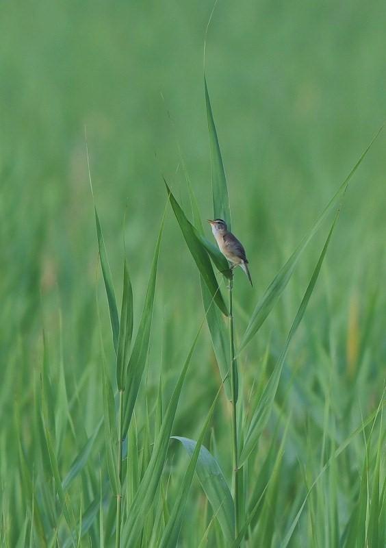 コヨシキリ・・・葦原は緑に満ちて_c0233349_06451727.jpg