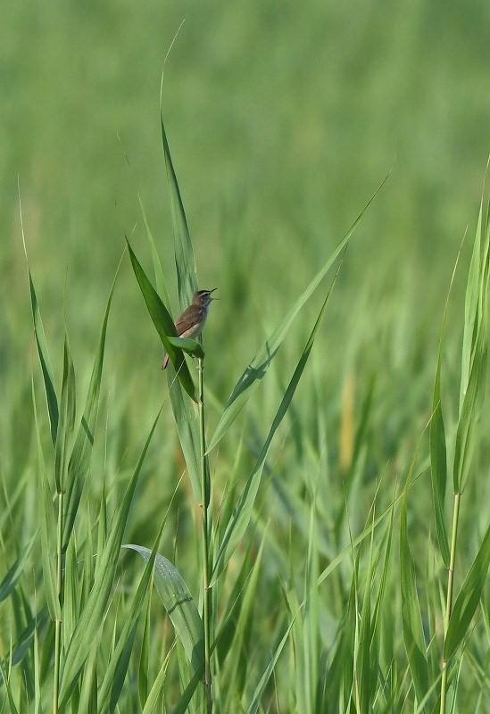 コヨシキリ・・・葦原は緑に満ちて_c0233349_06452882.jpg