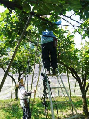 太秋柿 古川果樹園 匠の惜しまぬ手間ひま「枝つり作業」で今年も万全を期し育てます!_a0254656_19104649.jpg