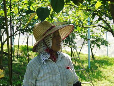 太秋柿 古川果樹園 匠の惜しまぬ手間ひま「枝つり作業」で今年も万全を期し育てます!_a0254656_19264103.jpg