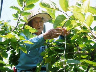 太秋柿 古川果樹園 匠の惜しまぬ手間ひま「枝つり作業」で今年も万全を期し育てます!_a0254656_19321461.jpg