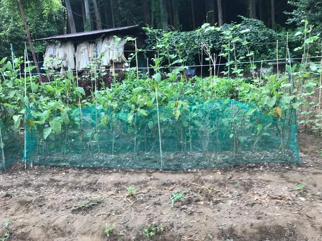 孫へのお土産用にトウモロコシ収穫、ナス切り戻し7・24_c0014967_16125941.jpg